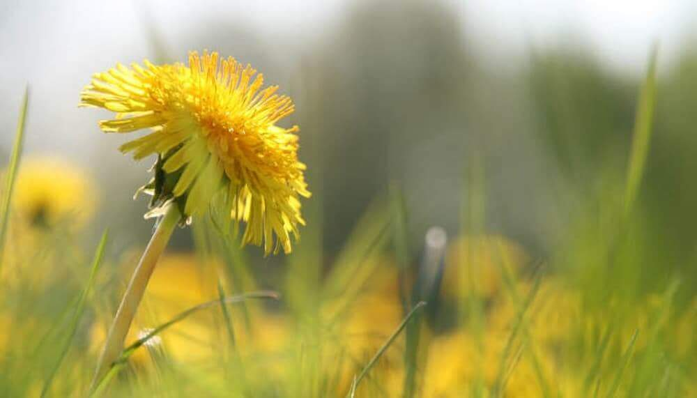 Beautiful Dandelions