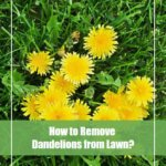 10 Natural Way to Get Rid of Dandelions Permanently [Best Tools]