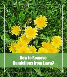 How to Remove Dandelions from Lawn
