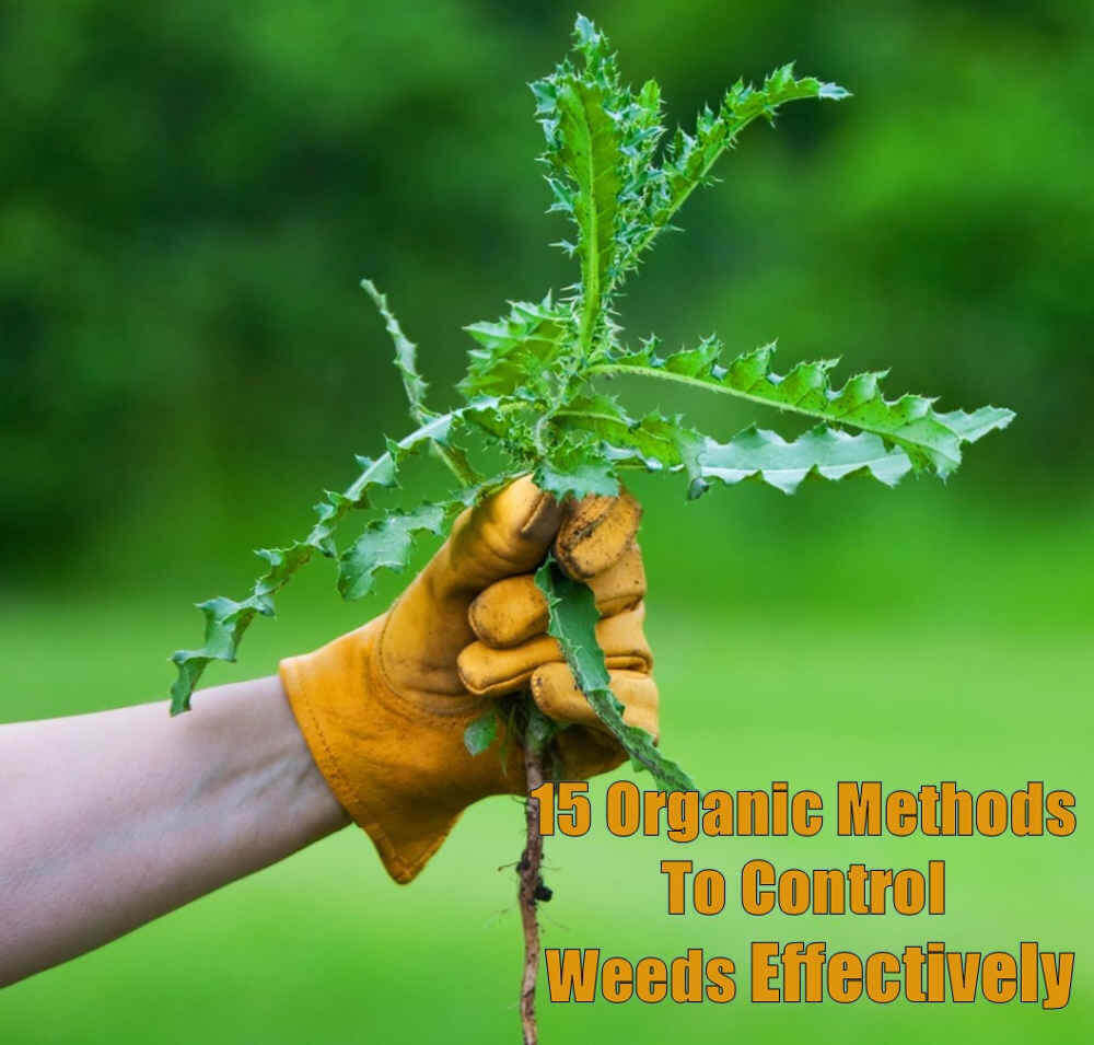 How to kill weeds without killing plant:15 homemade weedkiller