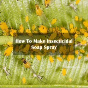 How To Make Insecticidal Soap Spray For Pests Step By Step