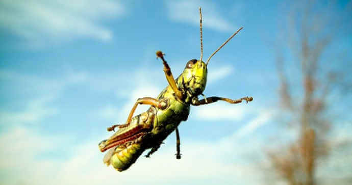 Can Grasshoppers Fly