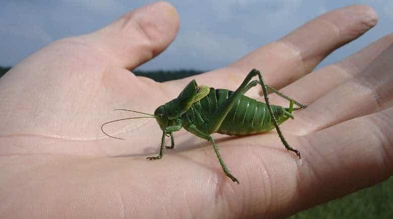 Do Grasshoppers Bite Human