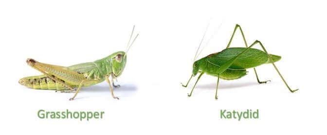 Grasshopper vs Katydid