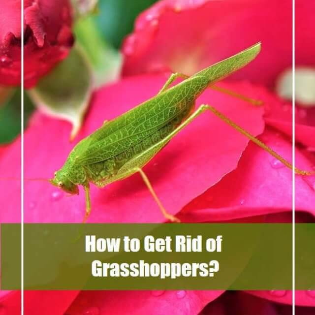 How to Get Rid of Grasshoppers in House [14 Natural Ways]