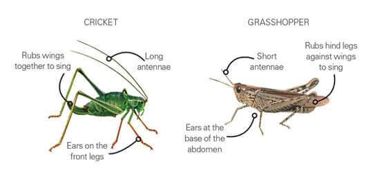 cricket vs grasshopper
