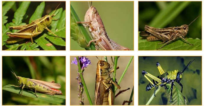 What do Grasshoppers Look Like?