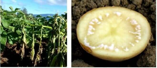 Bacterial Wilt of Potato