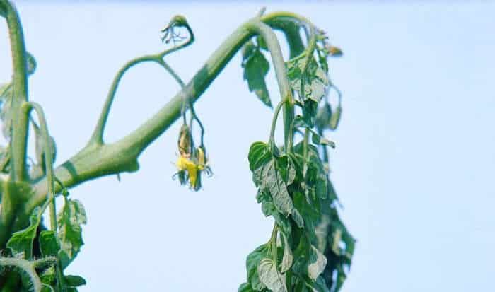 Bacterial Wilt of Tomato