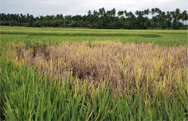 Bacterial wilt of Rice