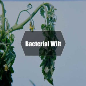 Bacterial wilt treatment