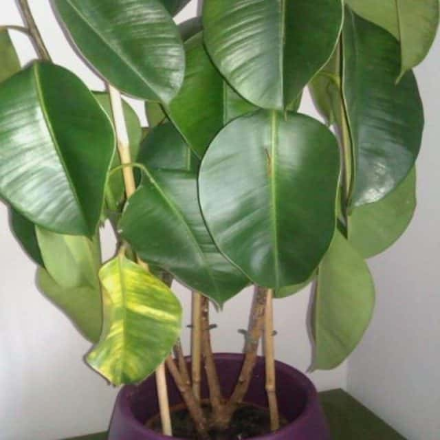 Rubber Plant Drooping Leaves? [Causes and Control Measures]