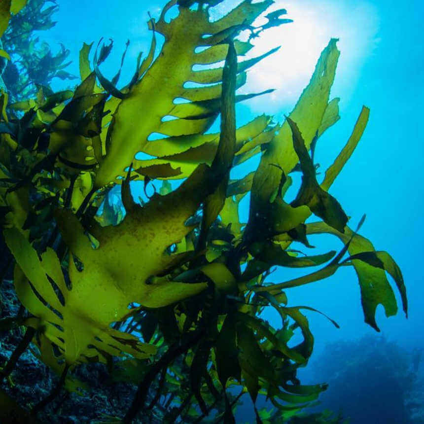 How to Use Seaweed as a Fertilizer [Benefits and Extraction]