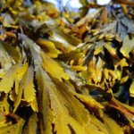 How toUse Seaweed as a Fertilizer [Benefits and Extraction]