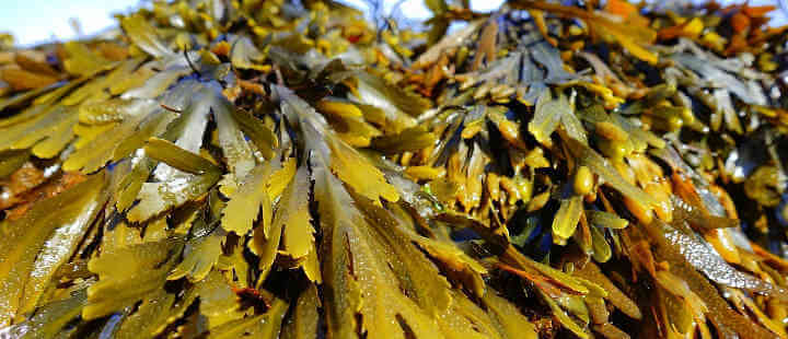 How to Use Seaweed in Garden