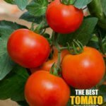7 Best Fungicide for Tomatoes 2020 [Guide and Reviews]