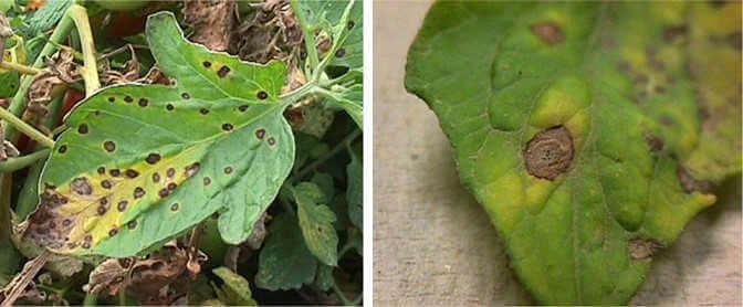 Septoria Leaf Spot of Tomato