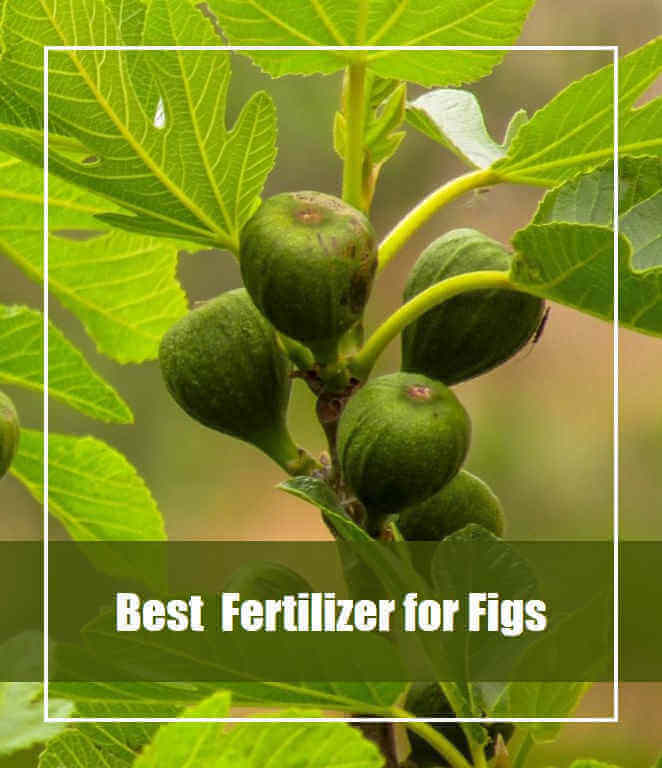 7 Best Fertilizer for Fig Trees 2020 [Top Picks & Reviews]