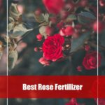 7 Best Rose Fertilizer Reviews 2020 -Top Picks and Guide