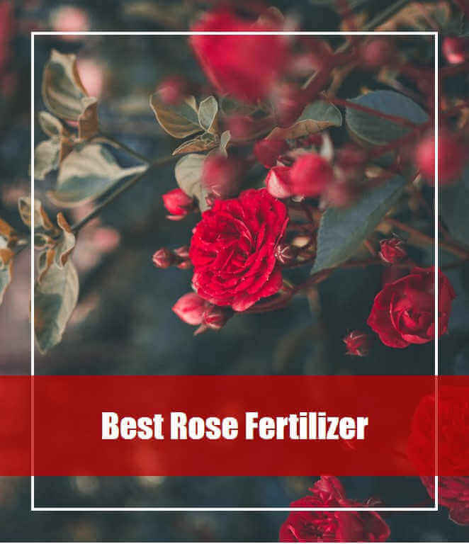 7 Best Rose Fertilizer Reviews 2020 [Top Picks & Guide]