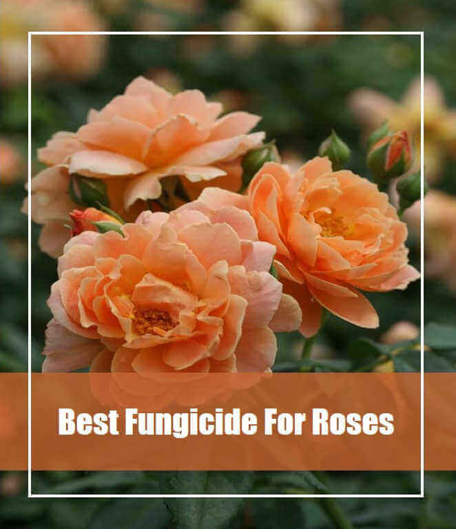 7 Best Fungicide for Roses Reviews 2020- Top Picks and Guide