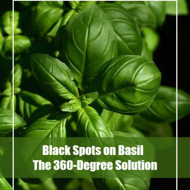 Black Spots on Basil – The 360-Degree Solution