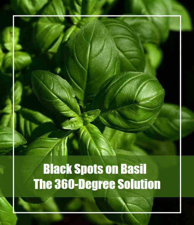 Black Spots on Basil leaves