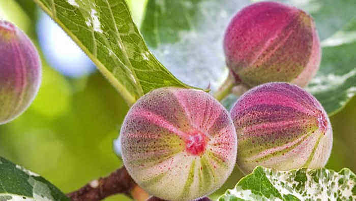When to Fertilize Fig Trees