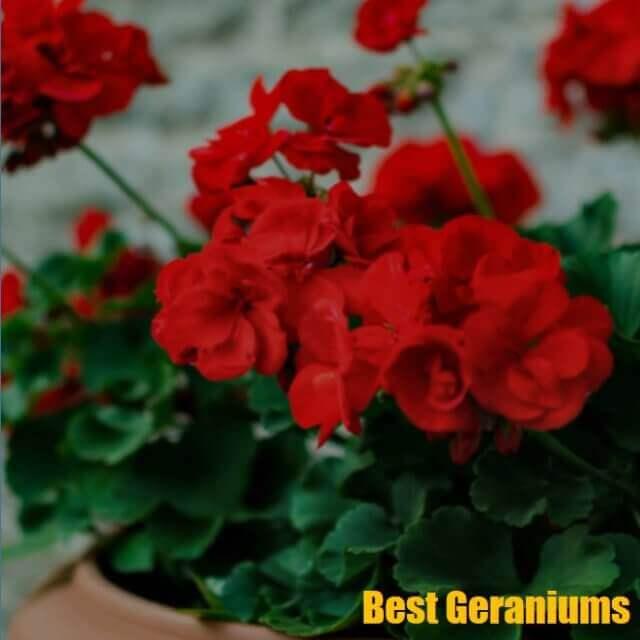 10 Best Fertilizer for Geraniums 2020  [Guide and Reviews]