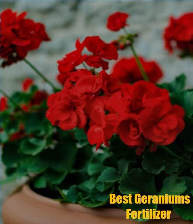 Best fertilizer for geraniums