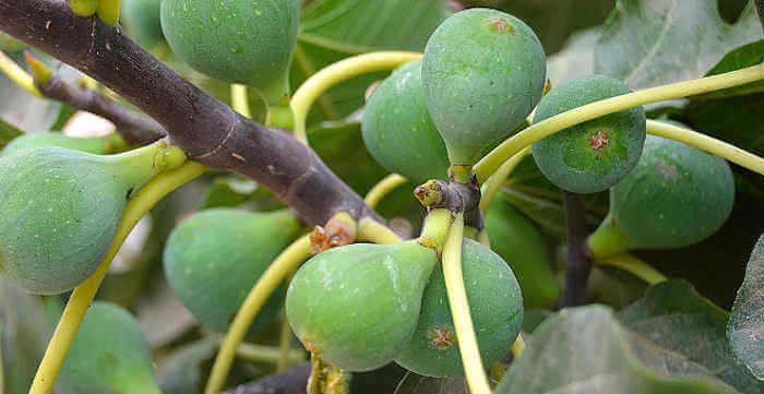 Why aren't Fig Trees Producing Fruit?