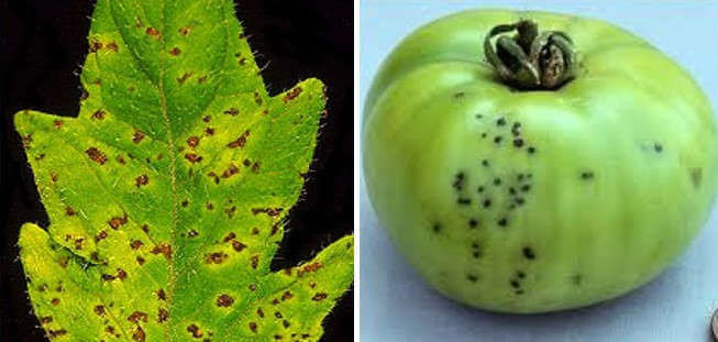 Bacterial Speck of Tomato