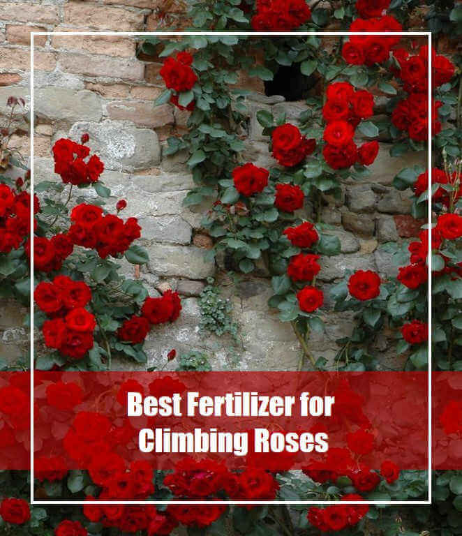5 Best Fertilizer for Climbing Roses 2020 [Top Picks & Reviews]