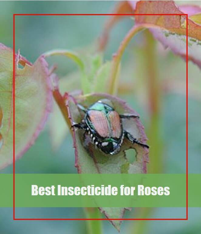 Best Insecticide for Roses