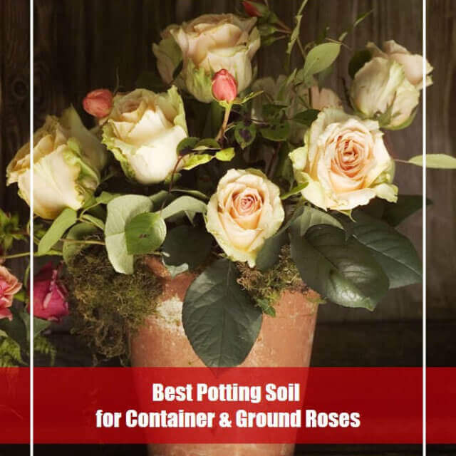 7 Best Potting Soil for Roses 2020 [Reviews and Guide]