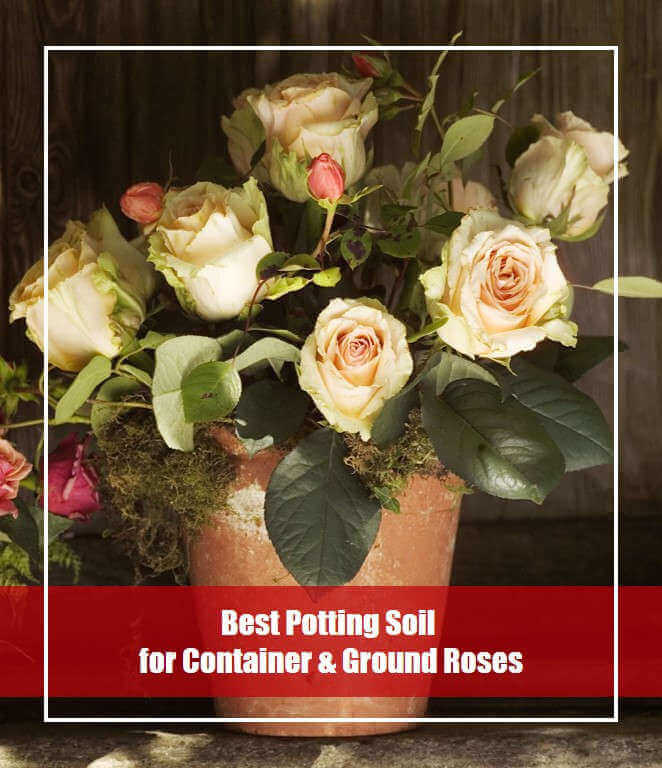 Best Potting Soil for Container and Ground Roses