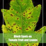 Black Spots on Tomato Fruit & Leaves? [Causes & Treatment]