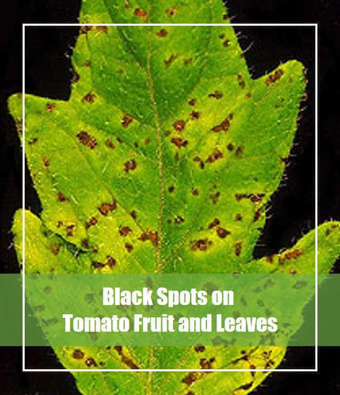 Black Spots on Tomato Fruit & Leaves? [Causes & Treatment]