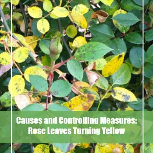 Rose Leaves Turning Yellow? - Here is the 360-Degree Solution