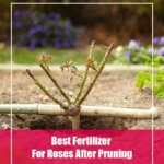 5 Best Fertilizer For Roses After Pruning 2020- Reviews & Guide