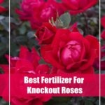 5 Best Fertilizer For Knockout Roses 2020- Top Picks & Guide