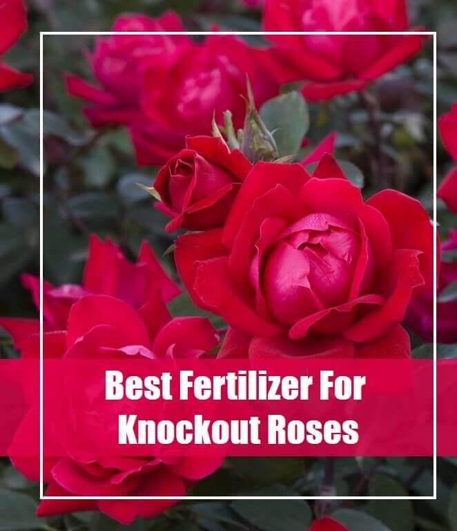 5 Best Fertilizer For Knockout Roses 2020- Top Picks & Guide