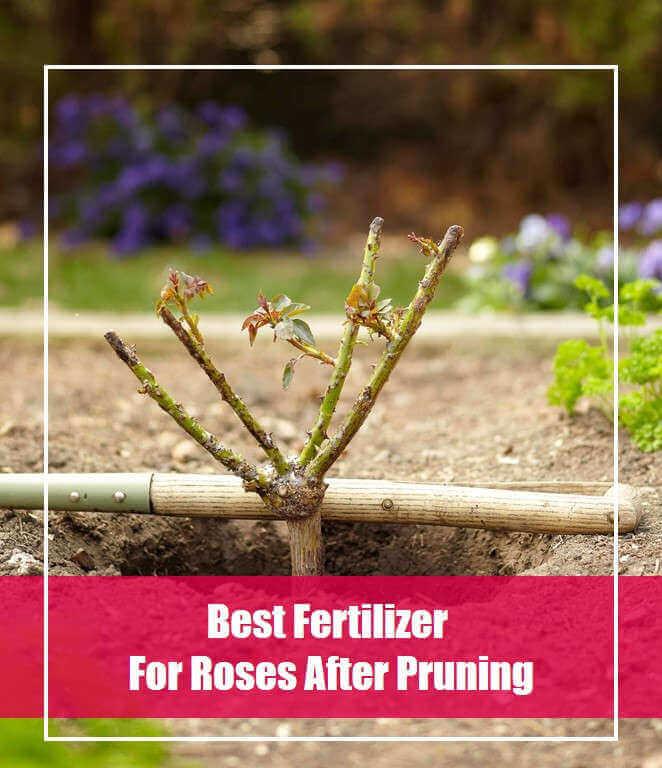 best-fertilizer-for-roses-after-pruning
