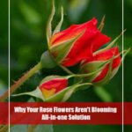 6 Reasons Why Your Rose Flowers Aren't Blooming
