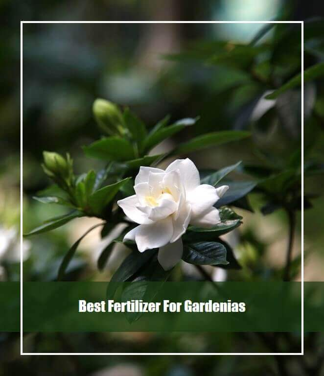 10 Best Fertilizer for Gardenias 2020 [Top Picks & Guide]