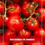 10 Best Fertilizer for Tomatoes Review 2020- Top Picks & Guide