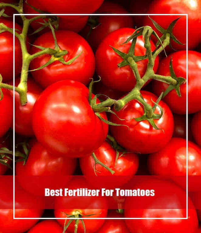 11 Best Fertilizer for Tomatoes Review 2020 [Top Picks & Guide]