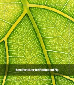 Best Fertilizer for Fiddle Leaf Fig