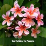8 Best Fertilizer for Plumeria 2020 [Reviews & Guide]