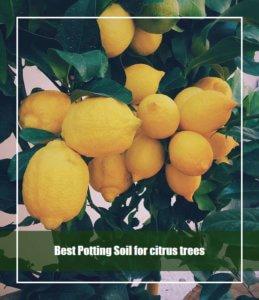 Best Potting Soil for citrus trees